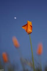 Fleur de lune (Cyril Godissart) Tags: fleurs flower lune moon nature macro astre ciel sky