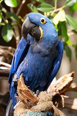 Welcome to my home. (paulvo) Tags: hyacinth macaw sandiego california