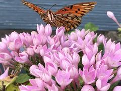c2019 Sept 26, Butterflies & Pink Flowers IPhoneography 10 (King Kong 911) Tags: butterfly moth autumnsedum pentas orange black pink flowers blooming