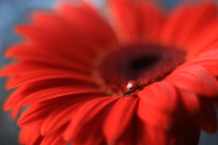 Gerbera (ElenAndreeva) Tags: nature macro flower ladybug insect bug light sun summer spring garden amazing red colors colorful color bright sweet canon bokeh gerbera andreeva flora flowers composition 2019 close up beautiful best focus