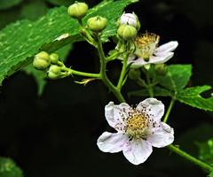 Blooming.... (Lopamudra !) Tags: lopamudra lopamudrabarman lopa flora flower kashmir kasmir jk india nature himalaya himalayas highaltitude highland wilderness wild foliage beauty beautiful