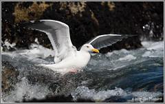 Swimming Upstream 7085 (maguire33@verizon.net) Tags: larusoccidentalis pointlobosstatenaturalreserve westerngull bird gull wildlife carmel california unitedstatesofamerica