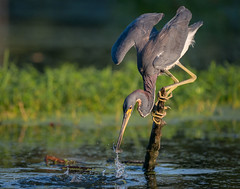 Pick-me-up (gseloff) Tags: tricoloredheron bird feeding baitfish menhaden water hyacinth stump wing splash nature wildlife horsepenbayou pasadena texas kayak gseloff