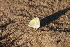 Dainty Sulphur (jdf_92) Tags: indiana fairfax lakemonroe butterfly daintysulphur nathalisiole