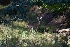 Wary Deer (Myusername432) Tags: deer whitetailed nature animals wildlife ohio sunset