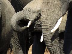 Elephants / olifante (Pixi2011) Tags: elephants krugernationalpark southafrica africa wildlifeafrica wildanimals animals nature coth coth5