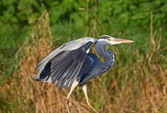 Grey heron (Ardea cinerea) - Riverside Valley Park, Exeter, Devon - Sept 2019 (Dis da fi we) Tags: grey heron ardea cinerea riverside valley park exeter devon