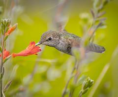 Meadow Raider. (Omygodtom) Tags: meadow wildlife bird bokeh hummingbird animalplanet animal annashummingbird usgs urbunnature nikon70300mmvrlens d7100 flickrhive flickriver smugmug algorithm