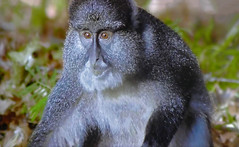 AFRICA - Baboon (Jacques Rollet (Little Available)) Tags: baboon babouin singe africa afrique animal monkey