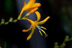Yellow beauty, see large (herman hengelo) Tags: crocosmia montbretia garden hengelo thenetherlands yellowbeauty reflection drops