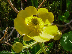 086 14Dec04 Lake Peel flower and insect (Awesome Image Maker NZ) Tags: 2004 alpineplant buttercup cobbvalley flower fly insect lakepeel nelsontasman yellow