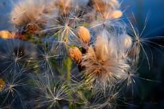 0316 Distelpluis  Thistle fluff (leike49) Tags: natur nature natuur outdoor flower flora bloem blume amateurphotography nikon d5300