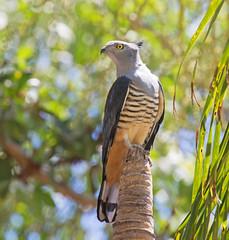 Pacific Baza (christinaport) Tags: pacificbaza baza tumblingwaters nt australia bird birds wild free