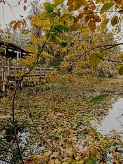 Pristine Autumn. (thnewblack) Tags: huaweip30pro smartphone leicaoptics outdoors britishcolumbia autumn seasonschange pond nature vsco mobilephotography