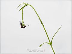 Explored!    Five spot Burnet moths (Nanooki) Tags: zygaenatrifolii butterfliesmoths fivespotburnet insects moths naturalworld ©suelambertlrpscpagb explored 10 greenfly