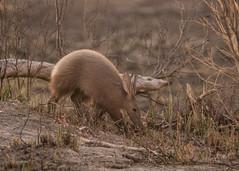 Aardvark - Orycteropus afer (Gary Faulkner's wildlife photography) Tags: aardvark orycteropusafer