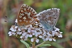 Bläulinge (Hugo von Schreck) Tags: hugovonschreck butterfly schmetterling bläuling insect insekt macro makro canoneosm50 yourbestoftoday tamronsp90mmf28divcusdmacro11f017