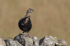 Black Grouse (Simon Stobart) Tags: uk england black north grouse east tetrao tetrix juv naturethroughthelens