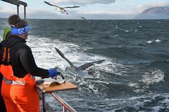 GABBIANO ARDITO (ADRIANO ART FOR PASSION) Tags: islanda islande iceland mare pesca pesce fish gabbiano seagull spuntino nikon nikond7200 18300 sea peschereccio boat 48mm