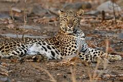 the confident look of a Leopard (cirdantravels (Fons Buts)) Tags: ngc naturethroughthelens npc leopardinthewild luipaardionhetwild bigcat bigcatsafari panthera pardus carnivora carnivore predator nachtdier felinae felidae madhyapradeshwildlife indiasafari panna tigerreserve saraiattoria