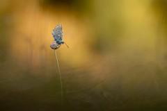 IMG_5492 - En attente....(azuré) (mp mapa) Tags: nature france yvelines macro proxi lépidoptère animal insecte papillon azuré argus