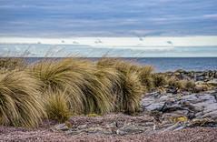 Sea Grass - Burnie, Tasmania (David Hamments) Tags: tasmania seagrass somersetbeach burnie fantasticnature