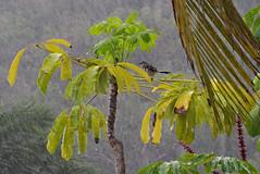 KP194060a (Lee Mullins) Tags: cuba raining shower bird