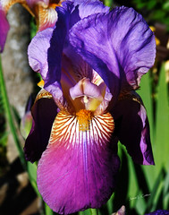 Bearded Iris (**Jamar**) Tags: beardediris iris blooms blossoms summer