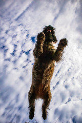 Flying cairn terrier (Kuonen Bosatsu) Tags: sky flying dog cairn terrier switzerland clouds stunt extreme nature jump project365