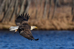 BaldieFlightPerchingTrees1 (2)Small (Rich Mayer Photography) Tags: eagle bird birds nature wild life wildlife animal animals fly flying flight bald eagles nikon