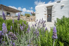 Lavender with a view (www.thalassinos.net) Tags: white wall whitewall window entrance residence thalassinos traditional thalassinosarchitect yard island architect architecture summer door detail flowers lavender greece holidays house homedecor holiday construction cyclades view volumes blue bluesky natural