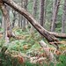 Black Woods of Rannoch: Some Trees 3