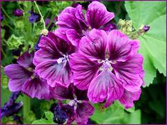 Malven / Mallow (ursula.valtiner) Tags: natur nature blume flower lila malve malva mallow
