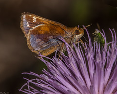 Zabulon Skipper [Poanes zabulon] (Fred Roe) Tags: nikond810 nikonafsmicronikkor105mmf28 nature naturephotography national wildlife wildlifephotography animals insect butterfly zabulonskipper poaneszabulon colors outside flickr macro peacevalleypark