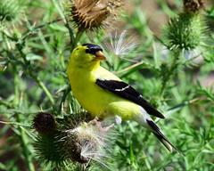 810_2016. American Goldfinch (explored 09-27-19) (laurie.mccarty) Tags: bird americangoldfinch animal plant nature naturephotography nikond810 nikon500mm wildlife birding birdwatcher outdoor