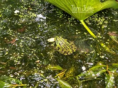 Green frog in pond, Zeist, Netherlands - 3022 (HereIsTom) Tags: webshots travel europe netherlands holland dutch view nederland views you nature sun tourists cycle vakantie fietsvakantie cycling holiday bike bicycle fietsen plus apple ios camera iphone 8 green volkstuintjes zeist allotment tuin kikker dieren groen water planten pond garden 14 park september frog frogs plants nieuw beerschoten animals natuur 2019