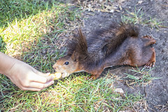 Me das miedito… (lebeauserge.es) Tags: soria españa parque naturaleza animal ardilla bosque mano campo hierba