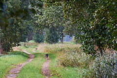 Coming boss (jaap s) Tags: dog road nature green running