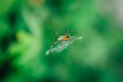 Spider (Nicola Pezzoli) Tags: italy italia lombardia val seriana bergamo leffe gandino nature natura spider ragno macro bokeh web ragnatela