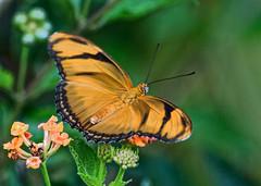 A Short Visit (ACEZandEIGHTZ) Tags: lantana flowers orangejulia butterfly nikond3200 bokeh nature flyinginsect dryasiulia macro closeup winged wings orangeandblack garden