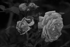 Rose (5) (Ellenore56) Tags: 27092019 rose rosen rosenblüte roses antiqueroses blüte flower blütenzauber moschusduft schwarzweis schwarzweiss blackandwhite monochrome schönheit beauty magicofflowers blütenduft odor flavor smell regentropfen raindrops pflanzenwelt flora botanik botancal stimmung mood atmaosphere spirit garten garden detail moment augenblick sichtweise perception perspektive perspective refektion reflection reflexion farbe color clour licht light inspiration imagination faszination magic magical variantion variationen variante sonyslta77 ellenore56 natur nature