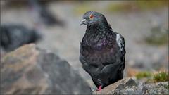 (c)WMH_2019_09_26 Rock Pigeon (WesleyHowie) Tags: belchersmarsh birds canada halifax location municipalpark novascotia pigeon rockpigeon wildlife