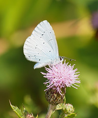 2019_07_0450 (petermit2) Tags: hollybluebutterfly hollyblue butterfly lycaenid celastrinaargiolus holarcticazures celastrina adwickwashlands adwickupondearne adwick dearnevalley doncaster southyorkshire yorkshire rspb