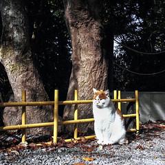 Kitty enjoying the autumn sun - Happy Fenced Friday! (Nobusuma) Tags: hasselblad500cm hasselblad zeissplanar80mmf28 80mm f28 120 6x6 square analog fuji fujifilm proh 160asa japan kansai kyoto cat fence bamboo hff mediumformat