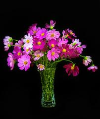 1-flowers-cosmeas-D8H_2333-LR6-md2.jpg_Panorama1 (John Igor) Tags: cosmea flowers still life nikkor ais 135mm f28 d800