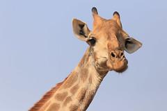 South Africa - Kruger National Park (Michael.Kemper) Tags: canon eos 6d 6 d ef 100400 100 400 f4556 f 45 56 l is ii usm voyage travel travelling reise vacation south africa südafrika rsa afrika limpopo mpumalanga kruger krüger national park nationalpark safari wild game drive wildlife animal tier giraffe head kopf