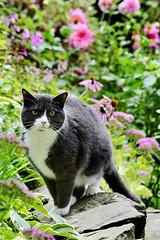 Garden wall (rachel.roze) Tags: calypso cat garden wall september2019 hanover flowers dahlia echinacea coneflower