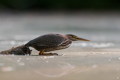 '' La vedette!'' héron vert-green héron (pascaleforest) Tags: canada quebec faune wildlife wild nature nikon passion bird oiseau