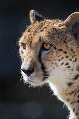 Nice cheetah portrait (Tambako the Jaguar) Tags: cheetah big wild cat male profile portrait face close looking sunny blackbackground kinderzoo zoo knie rapperswil switzerland nikon d5