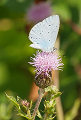 2019_07_0452 (petermit2) Tags: hollybluebutterfly hollyblue butterfly lycaenid celastrinaargiolus holarcticazures celastrina adwickwashlands adwickupondearne adwick dearnevalley doncaster southyorkshire yorkshire rspb